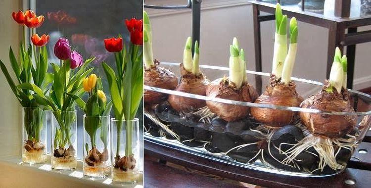 Cómo Cultivar sus Propios Tulipanes de una Manera Sencilla