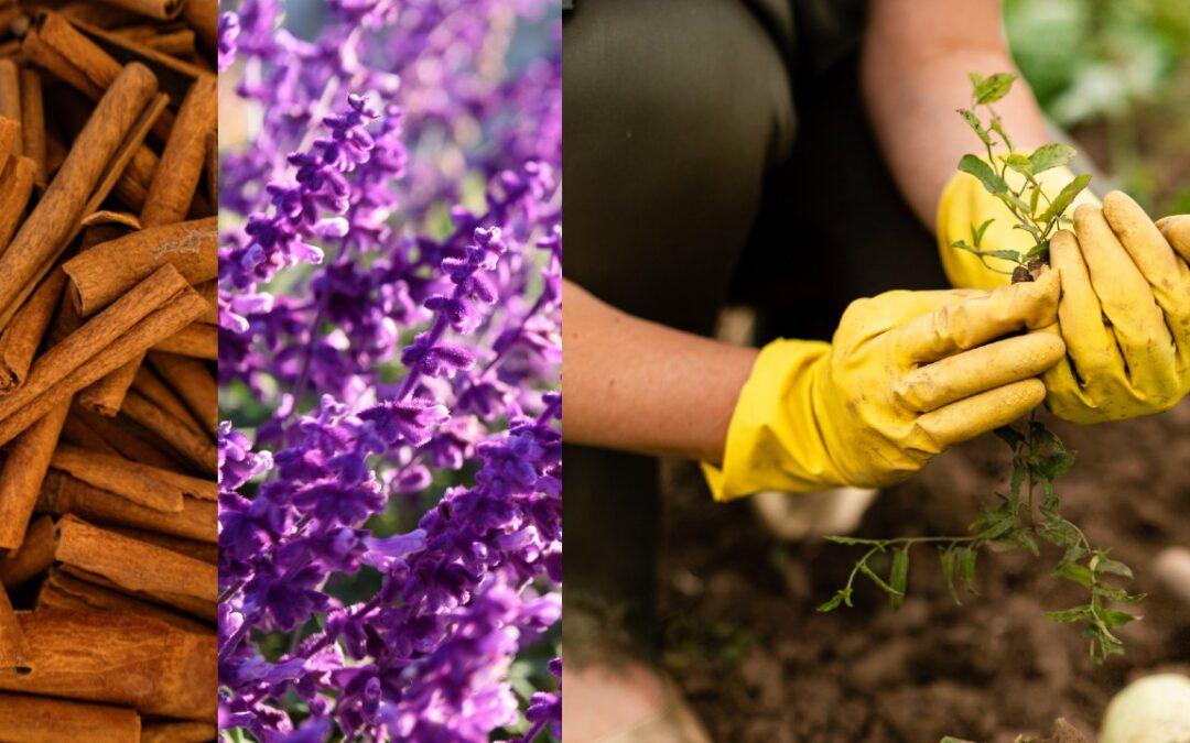 Cómo usar canela y lavanda para el cuidado de tus plantas