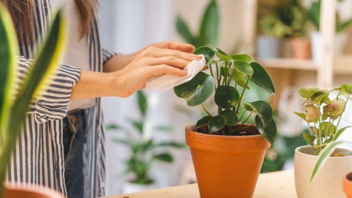 Aprende la forma más eficaz de limpiar el polvo de las plantas